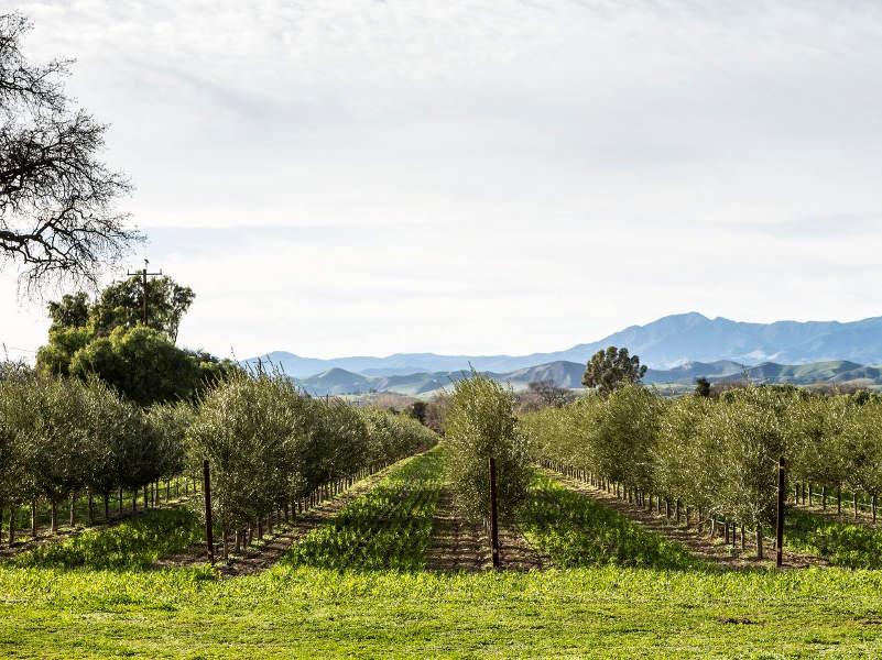 оливковое масло — визитная карточка