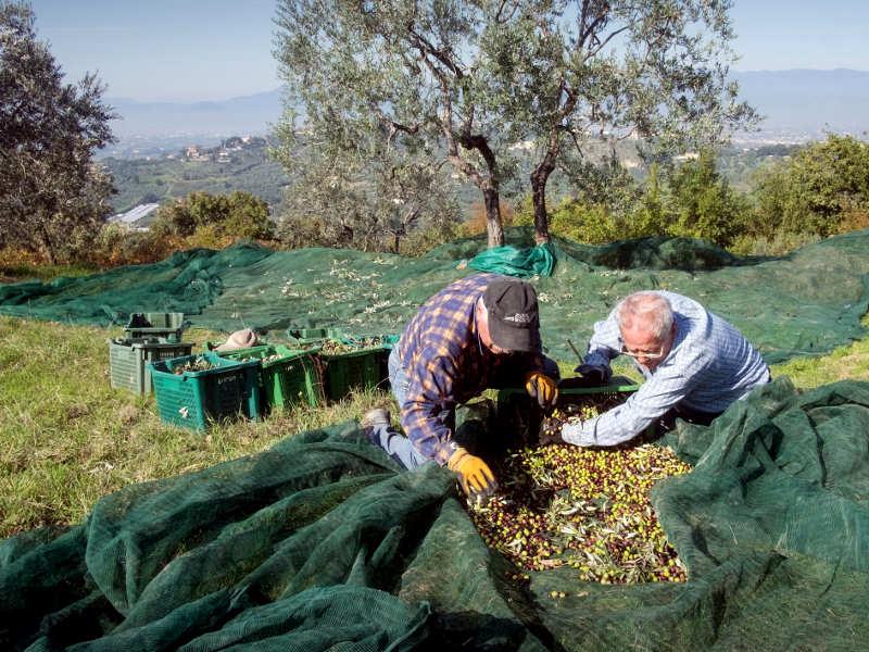 производство итальянского оливкового масла