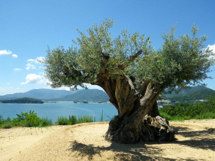 Оливковое масло в Японии