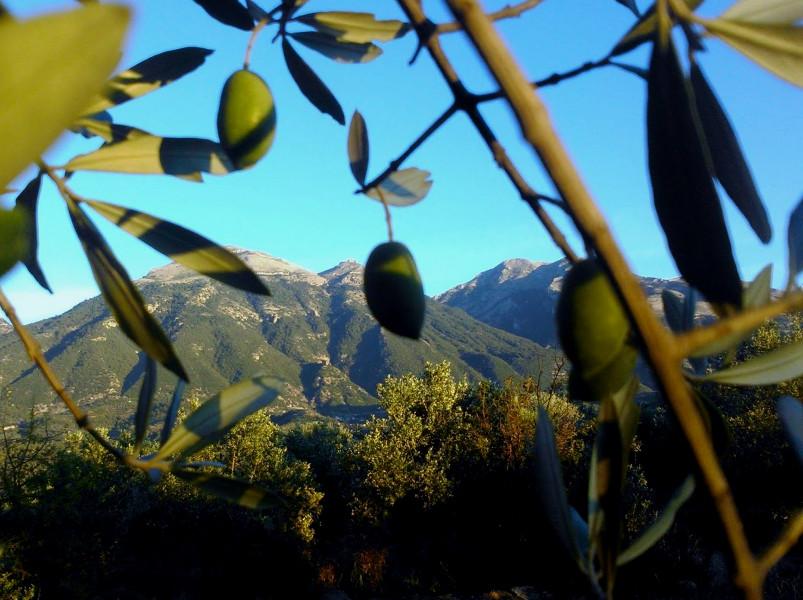 Производство оливкового масла в Тунисе