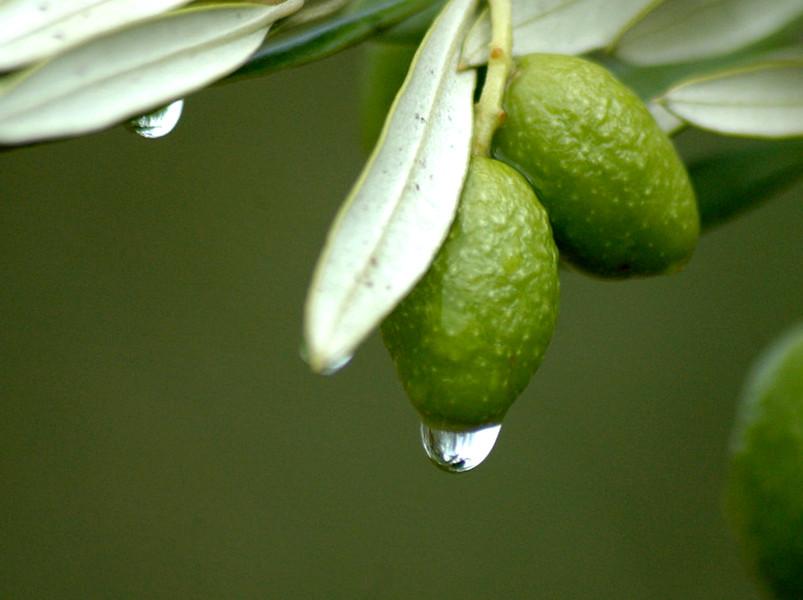 пять оливок в день для здоровья (часть вторая)