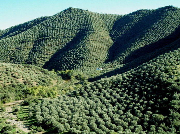 отсутствие поддержки оливковому хозяйству