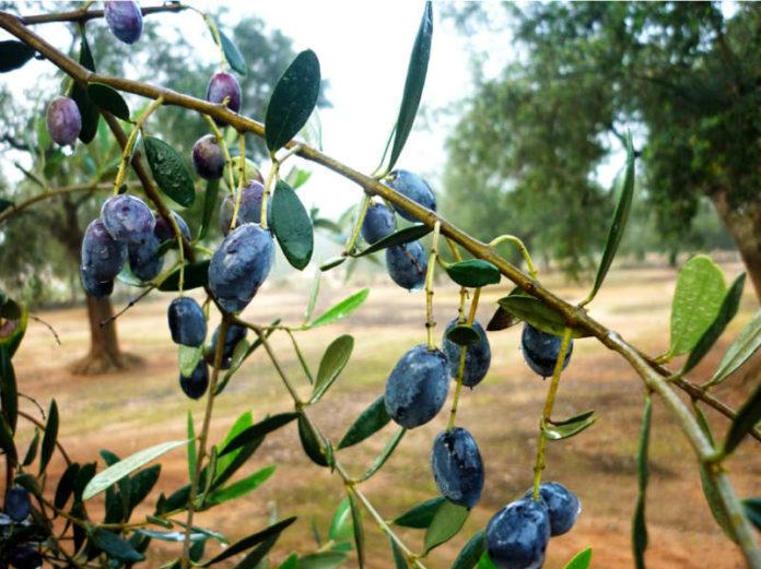 Кризис в секторе оливкового масла