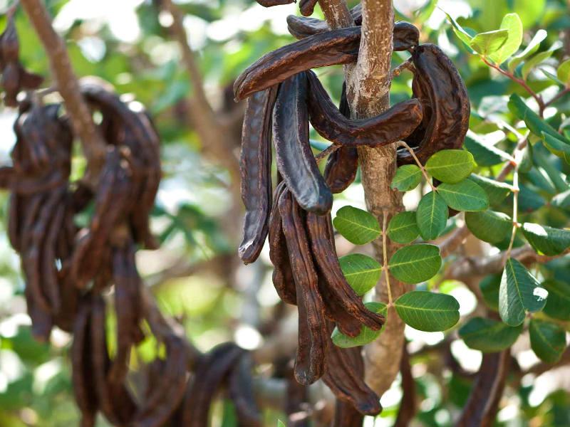 Стручки рожкового дерева