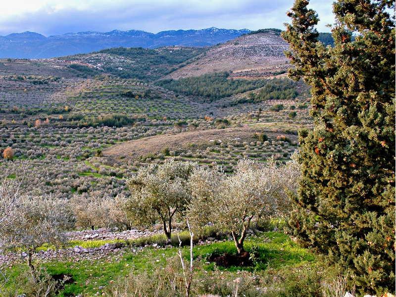 ливанское оливковое масло