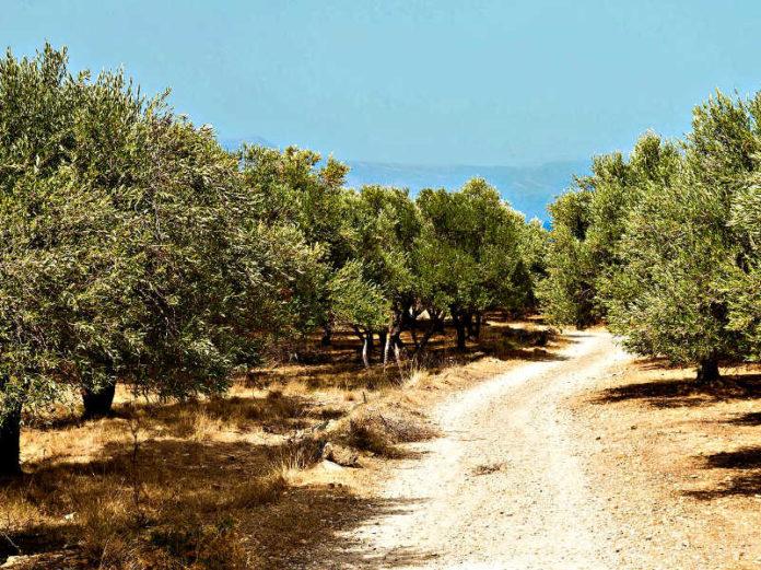 Оливковое масло — инструмент развития устойчивого туризма в Греции