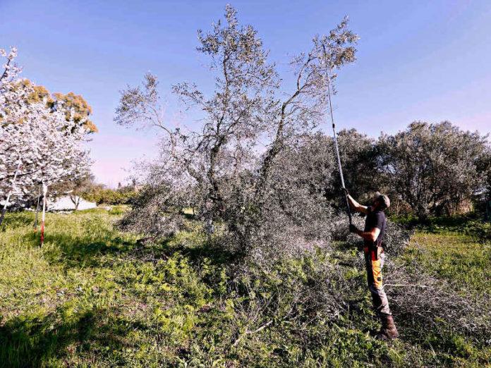 подрезчиком оливковых деревьев
