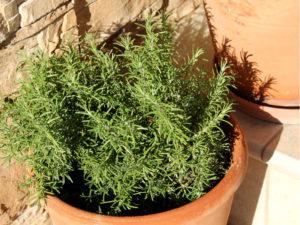 Средиземноморское растение розмарин
