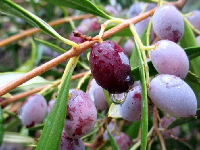 Оливковые рощи Греции