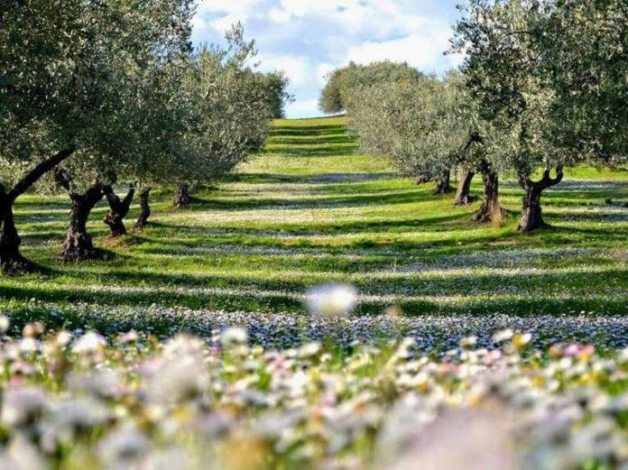 оливковое масло Италии