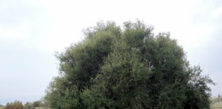 геном дикой оливы