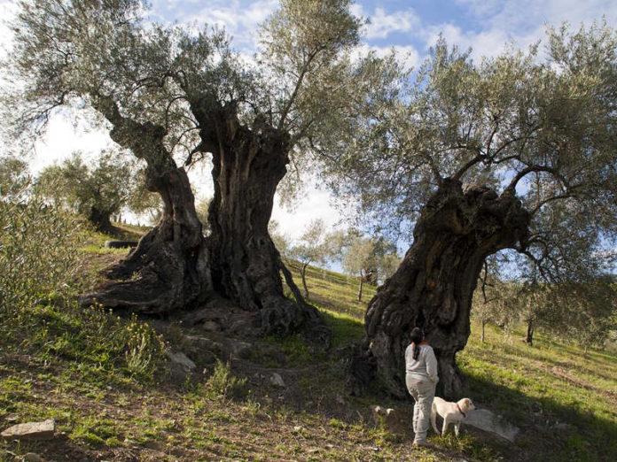 оливки Испании