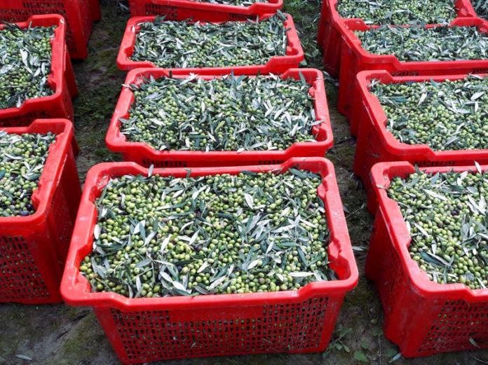 оливковый сектор