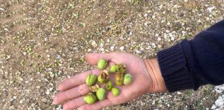 греческие масличные рощи
