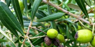сорта маслин