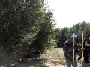Тунисское оливковое масло