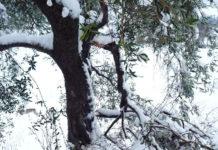 Оливковые рощи