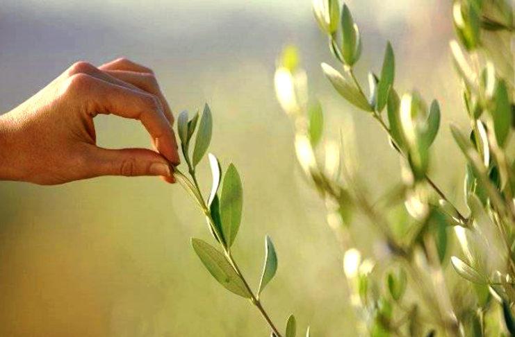 маслина как лекарственное растение