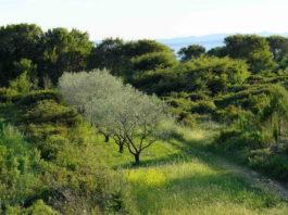 Оливковые деревья в Испании, падение экспорта масла
