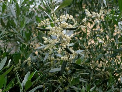 Цветение оливкового дерева