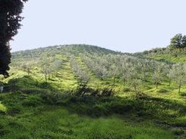 Плантации оливковых деревьев