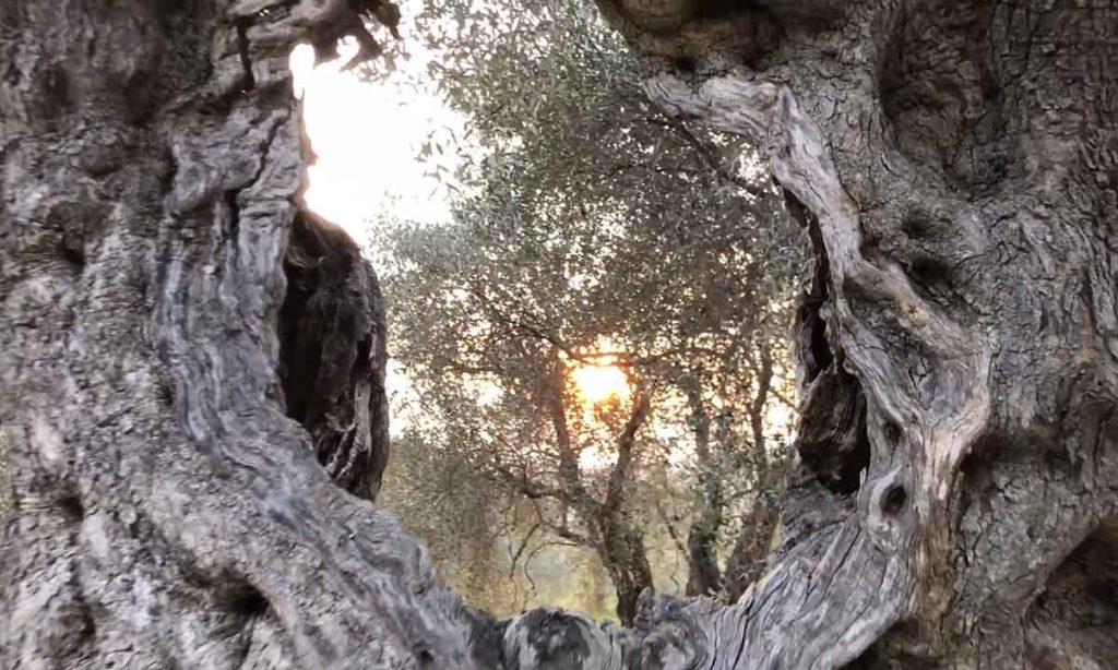 Вековые оливковые деревья