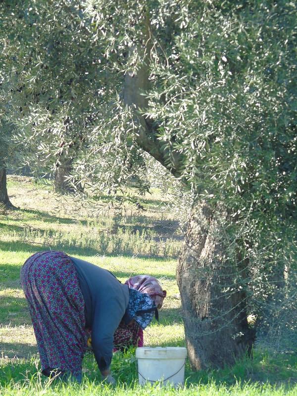 Сбор урожая оливок в Греции
