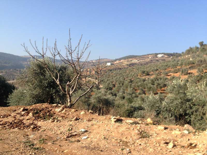 Оливковая роща среди пустыни в Иордании